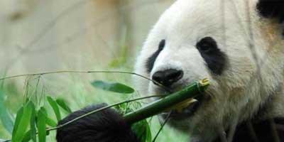 jatek-auto-bambuszt-rago-pandamaci-fiusjatekok